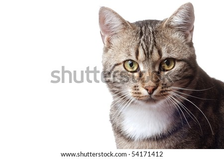 European cat in front on a white background - stock photo