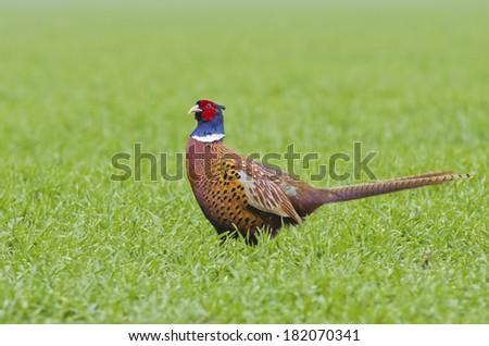 European cock pheasant - stock photo