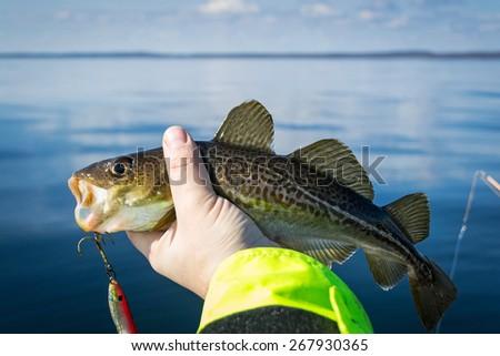 European cod in anglers hand - stock photo