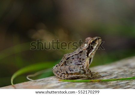 European common brown frog