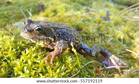 European common frog at Moysalen National Park Norway