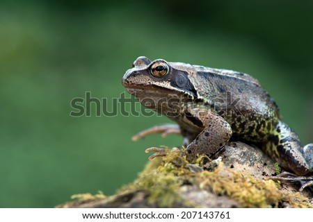European Common Frog on mossy log/Frog/Common Frog (rana temporaria)