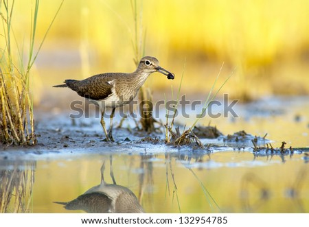 European Common Sandpiper- Actitis hypoleucos - stock photo
