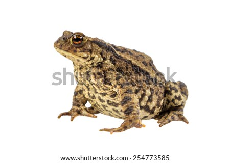 European common toad (Bufo bufo) isolated on white background - stock photo