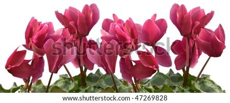European cyclamen isolated on white with clipping path - stock photo