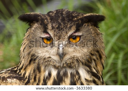 European Eagle Owl (Bubo Bubo Bubo) looking at viewer - landscape orientation - stock photo