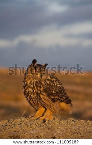 European Eagle Owl (Bubo bubo) perched on a rock, Avila,Spain,Europe - stock photo