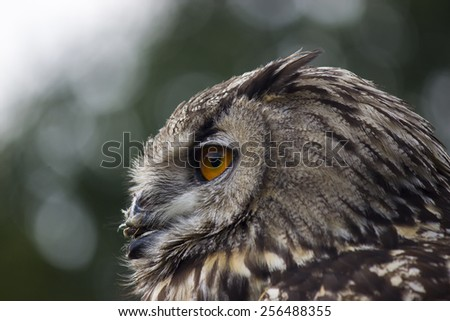 European Eagle Owl Closeup - stock photo