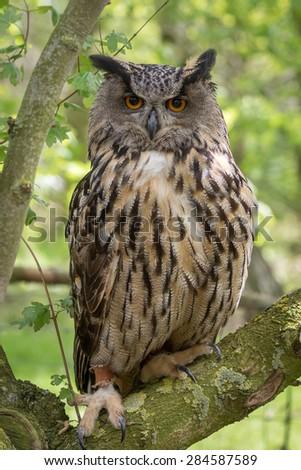 European Eagle Owl shot with green foliage background - stock photo