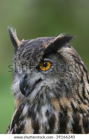 European Eagle Owl Starring