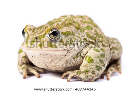 European emerald toad isolated on a white background - stock photo