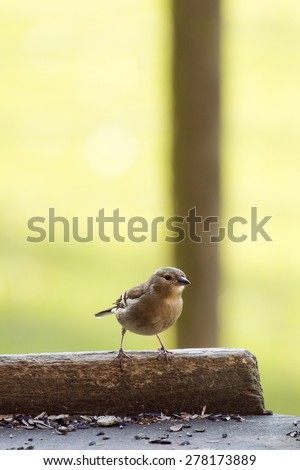 European Female Chaffinch perched on the edge of a garden bird table surrounded by seeds - stock photo