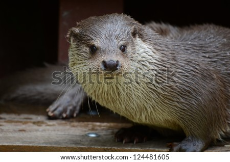european fish otter - stock photo