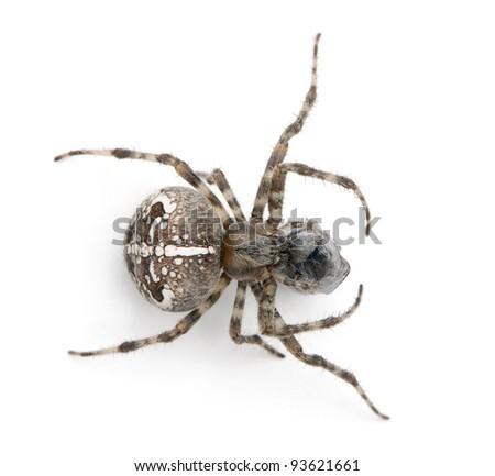 European garden spider, diadem spider, cross spider, or cross orbweaver, Araneus diadematus, eating a fly in front of white background - stock photo