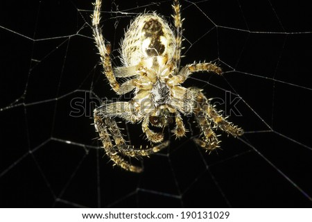 European Garden Spider on the net , Araneus Diadematus  - stock photo