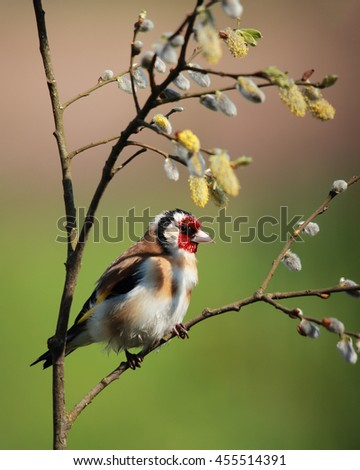 European Goldfinch, also known simply as Goldfinch, perched on a branch with spring flowers - stock photo