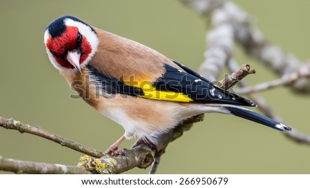 European Goldfinch (Carduelis carduelis) looking down from the twig in the oak. In Uppland, Sweden - stock photo