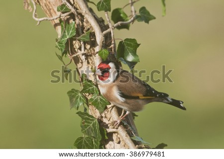 European Goldfinch (Carduelis carduelis) on ivy covered branch