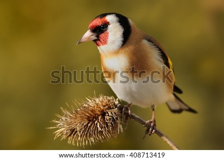 European Goldfinch (Carduelis carduelis) sitting on the thistle, isolated from background