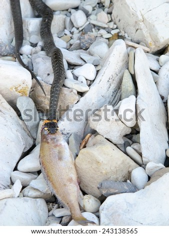 European grass snake (Natrix natrix) feeding on a dead fish on the river bank - stock photo