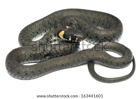 European grass snake - Natrix natrix isolated on white - stock photo