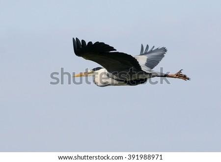 European Gray Heron (Ardea cinerea) in flight - stock photo