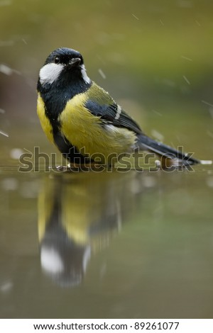 European great tit standing in a pond.