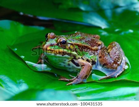 European Green Frog - stock photo
