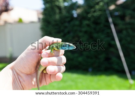 european green lizard ( lacerta viridis ) in human hands