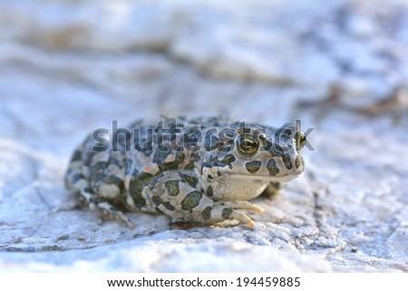 European Green Toad (Bufo viridis) - stock photo