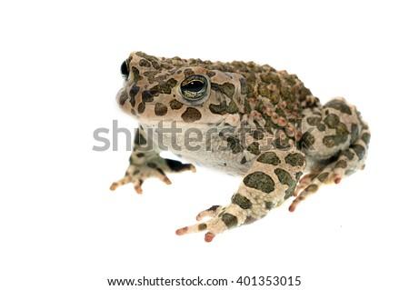 European green toad (Bufo viridis) isolated on white - stock photo