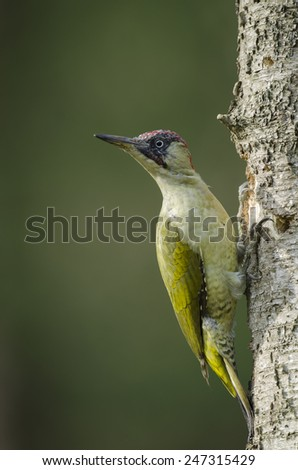 European Green Woodpecker - stock photo