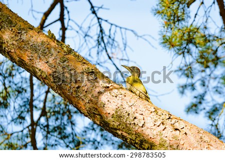 European green woodpecker (Picus viridis). Here seen sitting on a branch up in a pine tree. The bird is looking for food. Pine needles and sky visible in background.  - stock photo