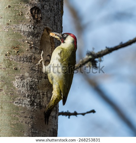 European green woodpecker (Picus viridis) with wood in the beak during excavation of  a nest hole in an aspen tree in Uppland, Sweden - stock photo