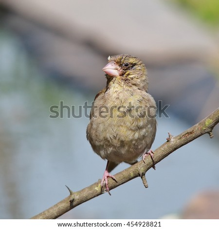 European Greenfinch, also known simply as Greenfinch perched on a bare stick - stock photo