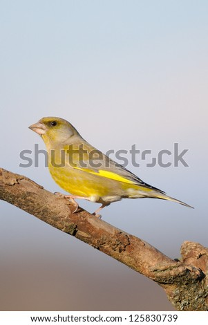 European Greenfinch (Carduelis chloris chloris) - stock photo
