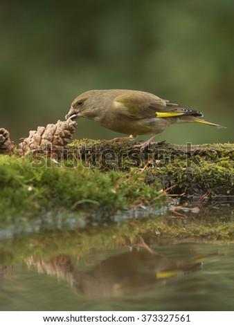 European Greenfinch - Chloris chloris -  Groenling  - stock photo