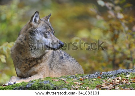 European Grey Wolf observed his surroundings. - stock photo
