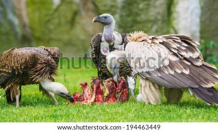 European griffon vultures (Gyps fulvus fulvus) eating - stock photo