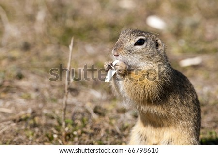 European Ground Squirrel eating a sunflower seed