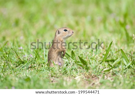 european ground squirrel in the meadow sit up and beg - stock photo