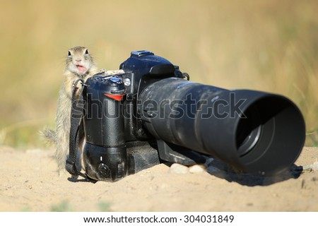 European ground squirrel like a camerman with professional camera and open mouth like comment something - stock photo