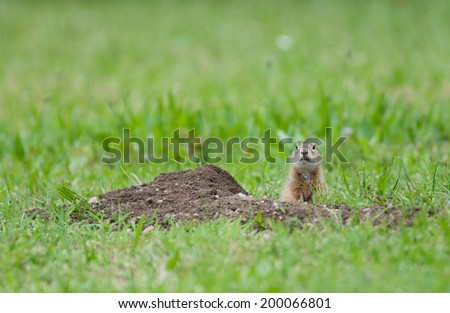 european ground squirrel looking out curious of its earth hole - stock photo