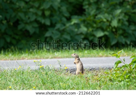 european ground squirrel sit up and beg on the wayside - stock photo