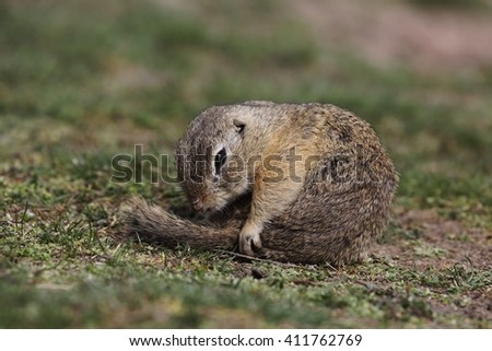 European ground squirrel (Spermophilus citellus) - hygiene in the grass.
