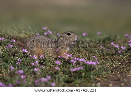 European ground squirrel (Spermophilus citellus) in the flowering steppe landscape.