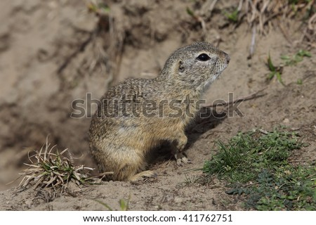 European ground squirrel (Spermophilus citellus) near its burrow.