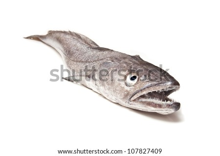 European Hake fish isolated on a white studio background.