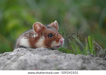 European hamster (Cricetus cricetus) against a natural background