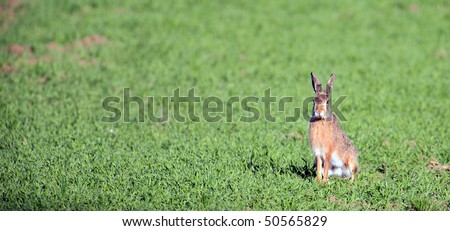european hare - stock photo